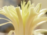 Хризантема от праз
