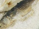 Печен кефал в сол